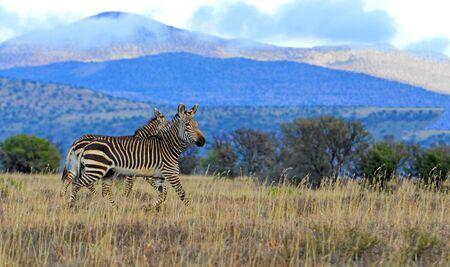 Mountain zebras in the Mountain Zebra National Park, South Africa