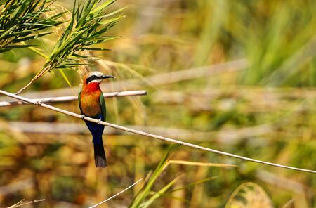 White-fronted bee-eater, on the banks of the Okavango River in Botswana Reklamní fotografie