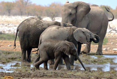 Herd of elephants bathe in the Etosha National Park in Namibia