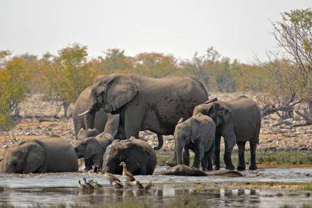 Herd of elephants bathe in the Etosha National Park in Namibia