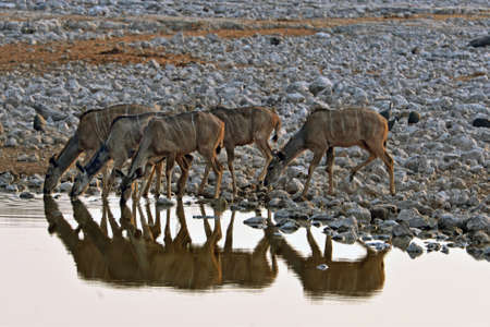 Kudus at the waterhole in the Etosha National Park in Namibia