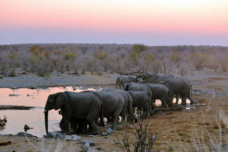 Elephants at dusk at the waterhole in the Etosha National Park in Namibia