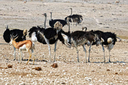 African ostriches in the Etosha National Park in Namibia Banco de Imagens