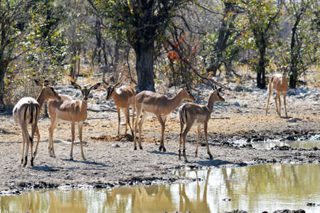 Impala herd in the Etosha National Park in Namibia