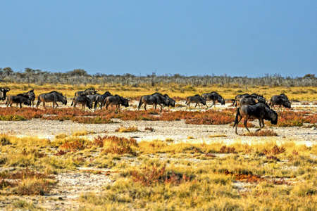 Wildebeests in the Etosha National Park in Namibia Stock Photo