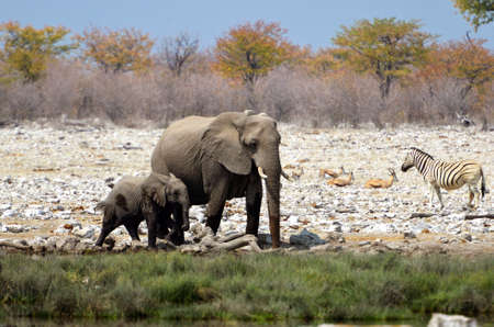 Baby elephant with his mother in Etosha National Park in Namibia
