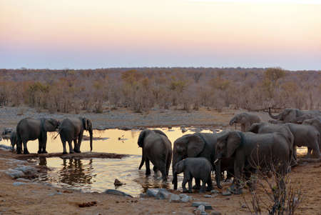 Elephants at the waterhole in the Etosha National Park in Namibia