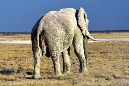 Elephant in the Etosha National Park in Namibia