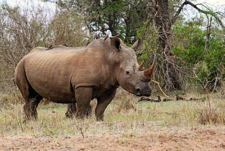 Rhinoceros in Kruger National Park in South Africa