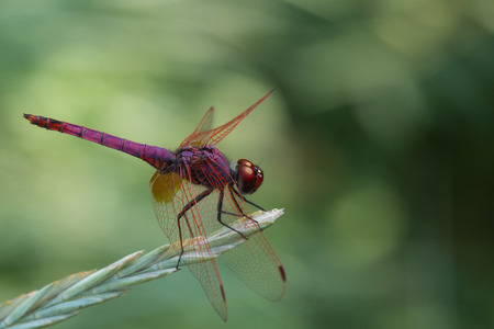 sympetrum: Fonscolombii: one of the larger species of Sympetrum Selys 1840