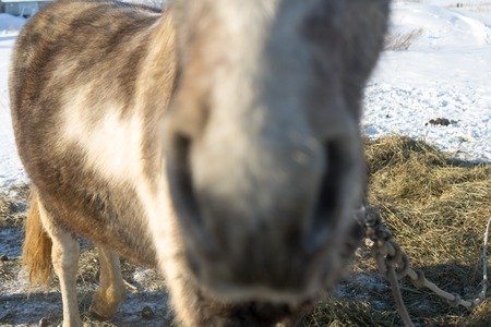 mouth close up: Laska is a two year old horse. Blurry close up picture of its nose and mouth happened as it thought that i was trying to feed it
