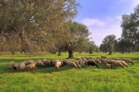 sheep dog: Flock among the olive trees Stock Photo