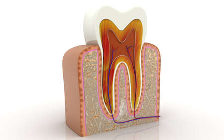 Cross section of teeth.3D illustration Standard-Bild
