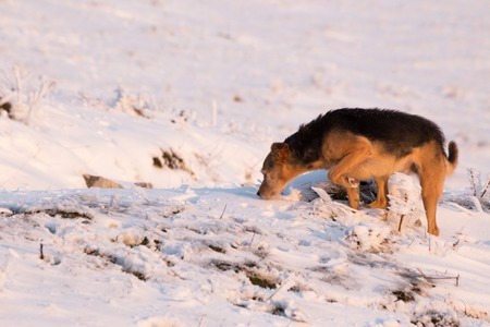 A dog in the snow, sniffing on the ground