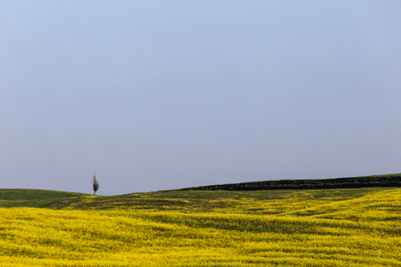 Typical Tuscany (Val dOrcia) landscape, with an isolated cypress tree on a hill in the middle of green grass and yellow flowers Stock Photo