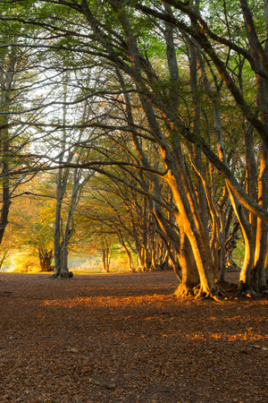 Beech trees in Canfaito forest (Marche, Italy) at sunset with warm colors, sun filtering through and long shadows Imagens