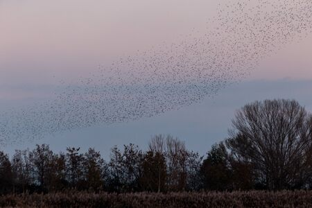 Flock of birds making a beautiful shape in the sky above some trees