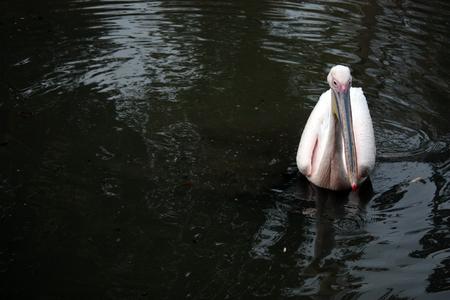 Swimming Pinkish Pelican