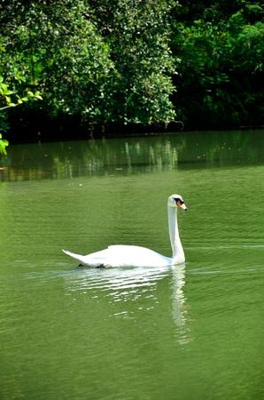 swimming swan: Swan in Swan Lake of Botanic Gardens, Singapore