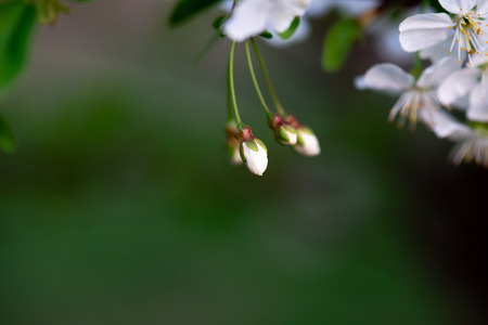 white cherry flowers on a branch close up Stock Photo