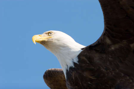 eagle feather: Bald eagle flying on blue sky wings open  Stock Photo
