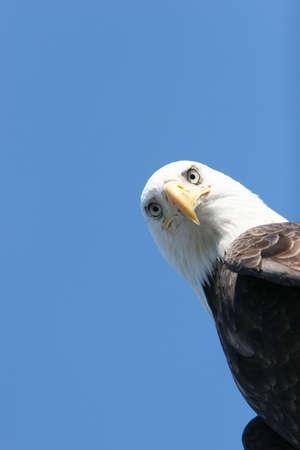Bald eagle headshot on blue sky Stock Photo - 1148072