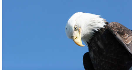 Bald eagle headshot with blue sky copyspace photo