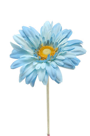 blue silk: Beautiful blue daisy flower on white background