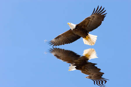eagle flying: Bald eagle flying on blue sky