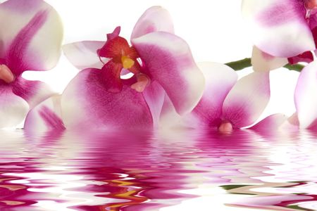 reflection: Pink orchid flower in water