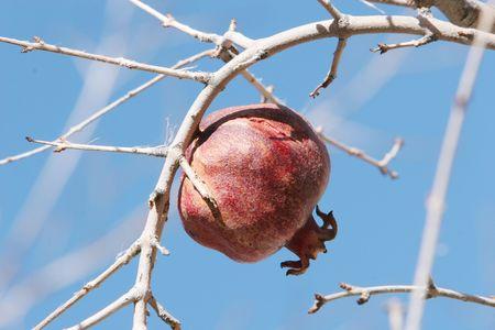 Pomegranate on tree branch