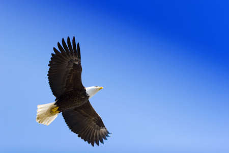 eagle flying: American eagle on blue sky