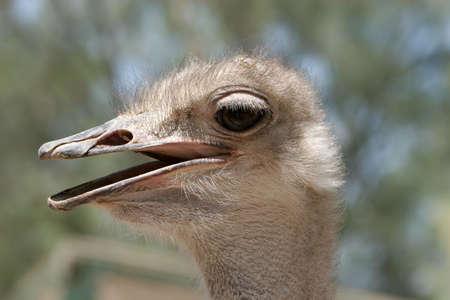 Ostrich headshot close up