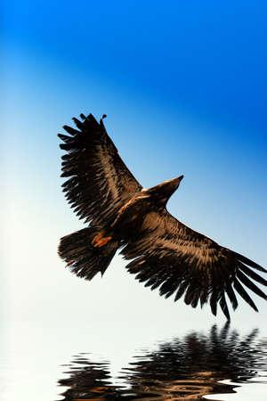 golden eagle: Golden Eagle fliegen, Wasser besinnung