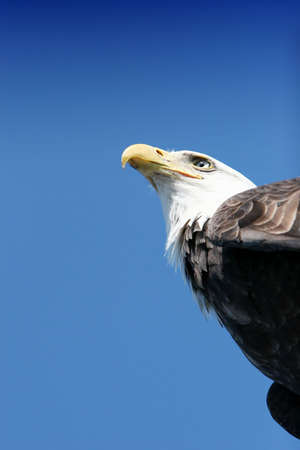 american eagle: American eagle on blue sky