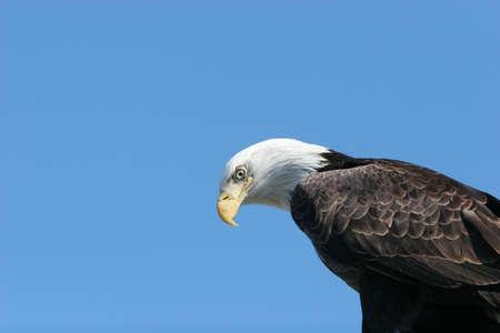 Bald eagle headshot with copyspace photo
