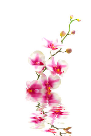with reflection: Pink orchid flower in water