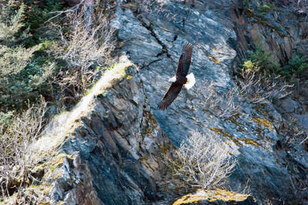 eagle flying: Bald eagle flying over mountains Stock Photo