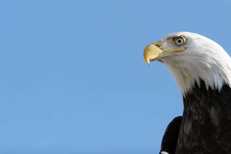 eagle feather: Bald eagle headshot with blue sky copyspace