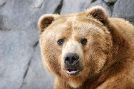 Brown bear headshot