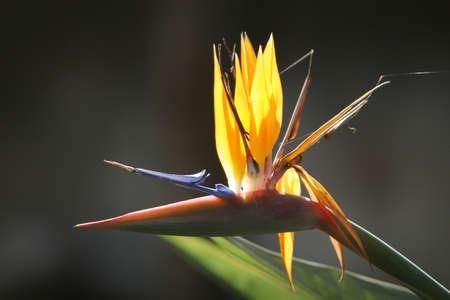 Mexicaanse vogel van het paradijs