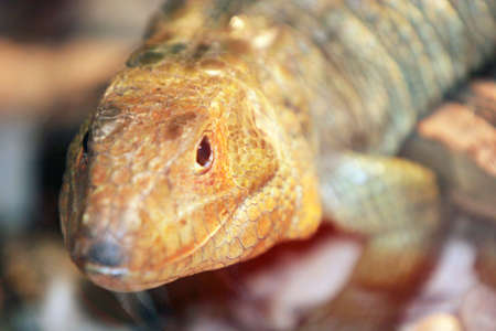 lizard in field: Lizard  Foto de archivo