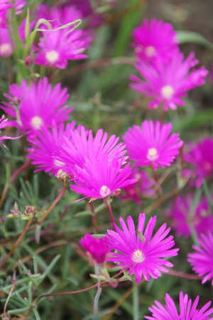 Fuchsia color garden flowers Stock Photo - 2987622