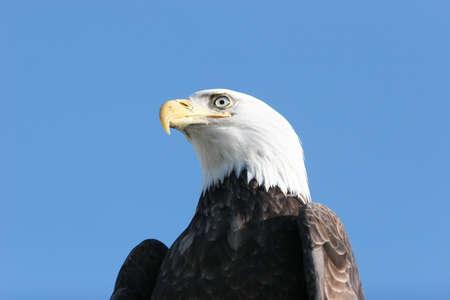 Bald eagle headshot on blue sky photo