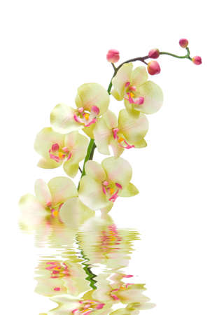 Green orchid flower in water photo