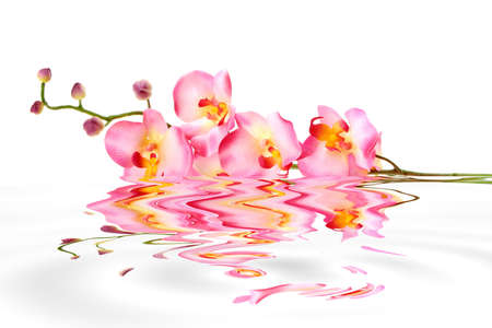 with reflection: Pink orchid in water