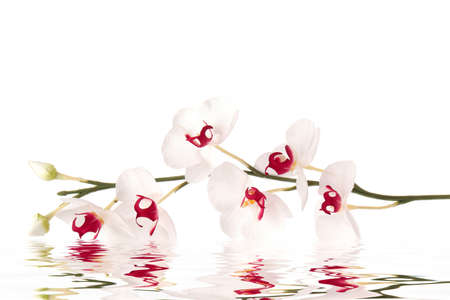 White orchid in water Imagens