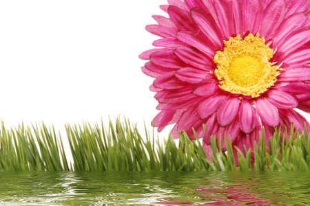 Beautiful gerbera daisy flower photo