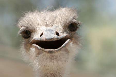 Ostrich face close up