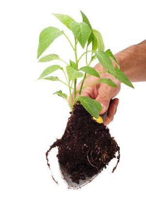 Man gardening a green plant photo